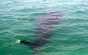 The butanding or whale shark is the biggest fi...