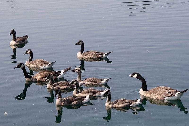 File:Canada Goose Creche.JPG