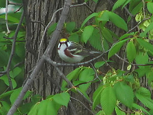 English: Chestnut-sided Warbler (Dendroica pen...