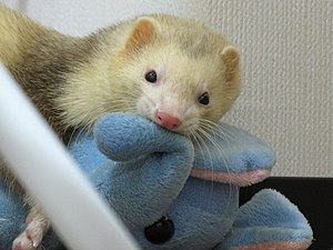 Ferret plays a stuffed animal.