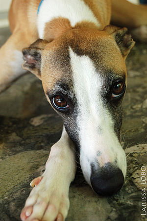Whippet galgo