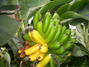English: Bananas growing in a greenhouse in Ic...