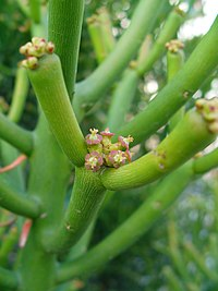 Euphorbia Tirucalli Wikipedia