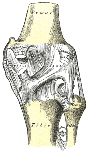 Right knee-joint. Posterior view.