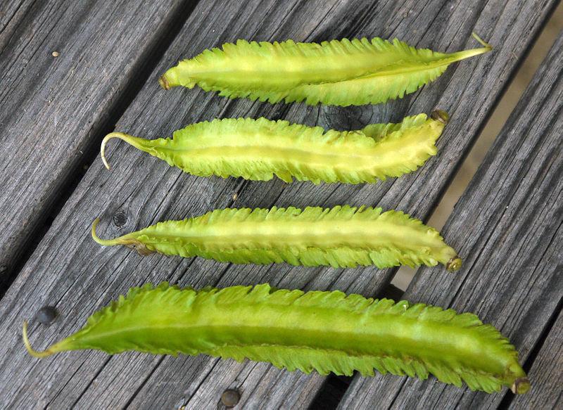 File:Japanese Psophocarpus tetragonolobus.jpg