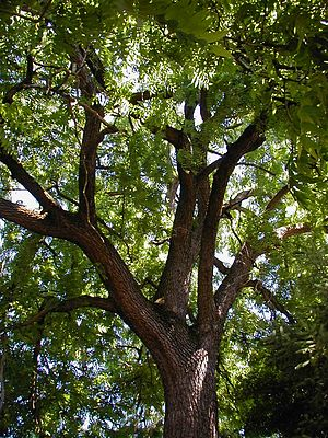 Juglans nigra or black walnut, a Portland heri...