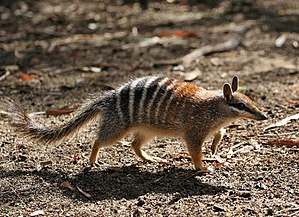 Numbat Perth Zoo, Western Australia taken by M...