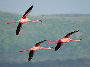 Lesser Flamingos, Phoeniconaias minor, flying ...