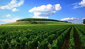 Vineyard in Côte de Nuits, Burgundy, France
