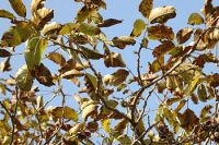 English: Walnut tree leaves (Juglans regia), 5...