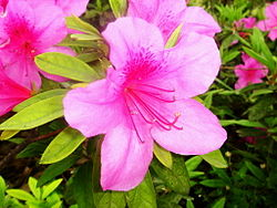 粉红映山红 Rhododendron periclymenoides