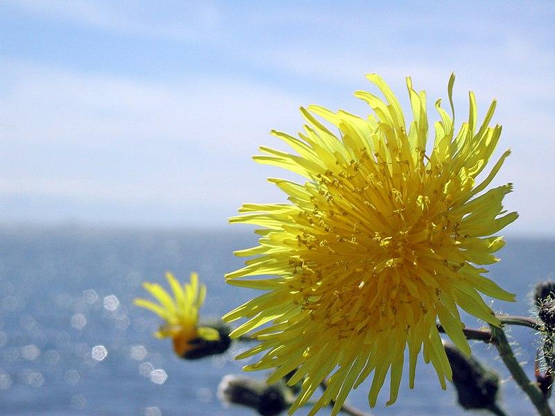 File:Dandelion and Ocean.jpg