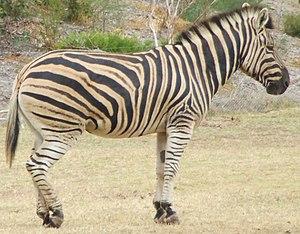 Zebra from Werribee Open Range Zoo, Victoria, ...