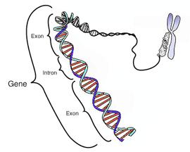Este diagrama esquemático muestra un gen en relación a su estructura f�sica (doble hélice de ADN) y a un cromosoma (derecha). Los intrones son regiones frecuentemente encontradas en los genes de eucariotas, que se transcriben, pero son eliminadas en el procesamiento del ARN (ayuste) para producir un ARNm formado sólo por exones, encargados de traducir una prote�na. Este diagrama es en exceso simplificado ya que muestra un gen compuesto por unos 40 pares de bases cuando en realidad su tamaño medio es de 20.000-30.000 pares de bases).
