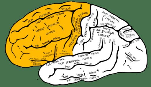 Gray726 frontal lobe