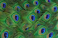 نمای نزدیک پرهای طاووس هندی