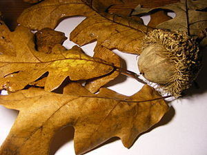 Picture of Quercus macrocarpa fall leaves and ...