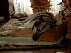 A pic of a husky-sheepdog who's sleeping.