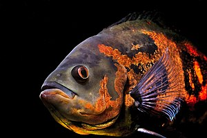 The oscar (Astronotus ocellatus) is one of the...