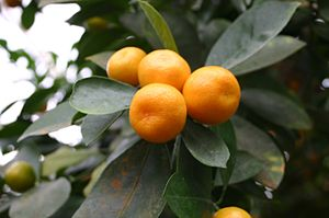 Citrus aurantiifolia: Fruits and foliage.