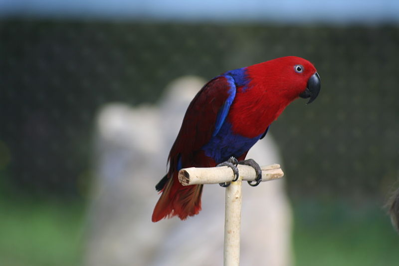 File:Eclectus Parrot (Eclectus roratus) -5.jpg
