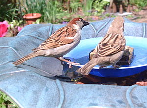 A pair of House Sparrows