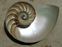 A sectioned nautilus shell. These shells may h...