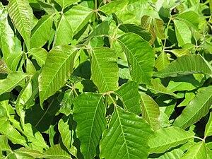 Poison Ivy (Toxicodendron radicans), Ottawa, O...