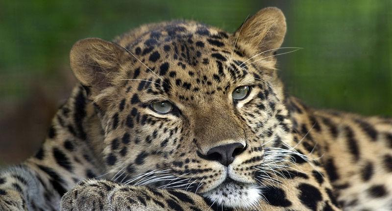 The Amur leopard ( Panthera pardus orientalis ), also known as the ...