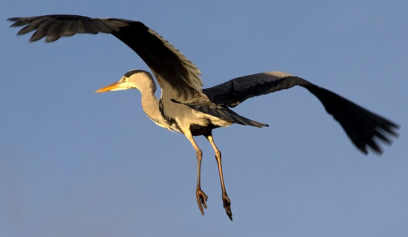 File:Heron flying over 2 (6686456637).jpg