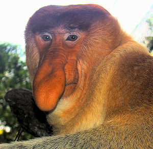 English: A dominant male proboscis monkey at t...