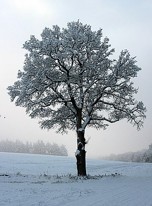 English: Snow-laden oak near Upton Grey The mo...