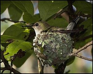 English: A Female Vervain Hummingbird sitting ...