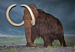 English: Woolly mammoth restoration at the Roy...