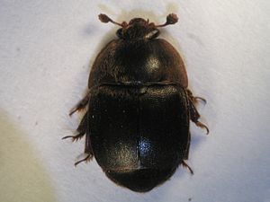 Aethina tumida Common Name: small hive beetle ...