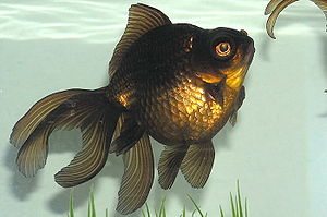 Profile of a large black moor goldfish.