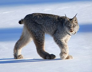 Canadian lynx near Whitehorse, Yukon.
