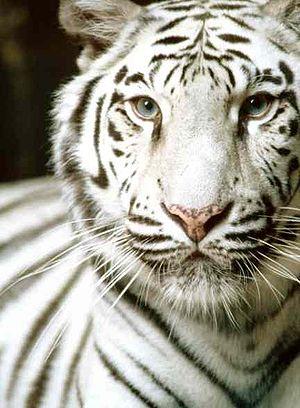 English: white tiger
