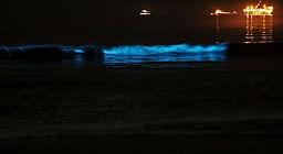 Dinoflagellate luminescence