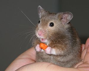 Hamster in hand-cropped
