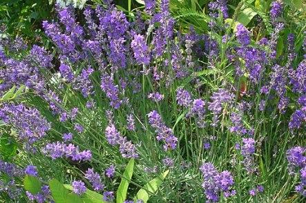 Lavandula angustifolia 01