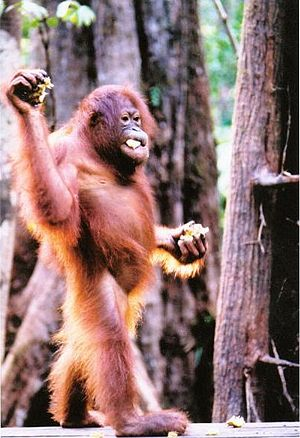 At Sepilok Orang Utan Sanctuary, the site of t...