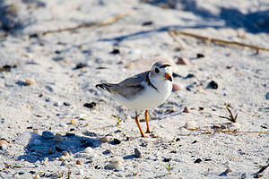 Piping Plover on Long Island, New York
