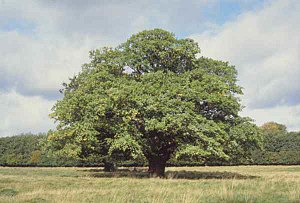 An oak tree; a typical modern, terrestrial aut...