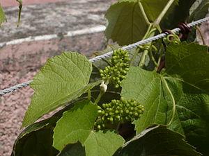 Buds of Grape's flower