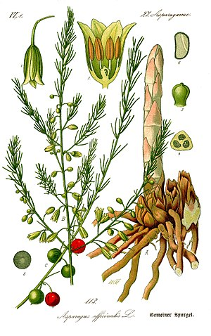 English: Name:Asparagus officinalis