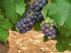 Français : cépage Pinot Noir. Grappes de pinot...