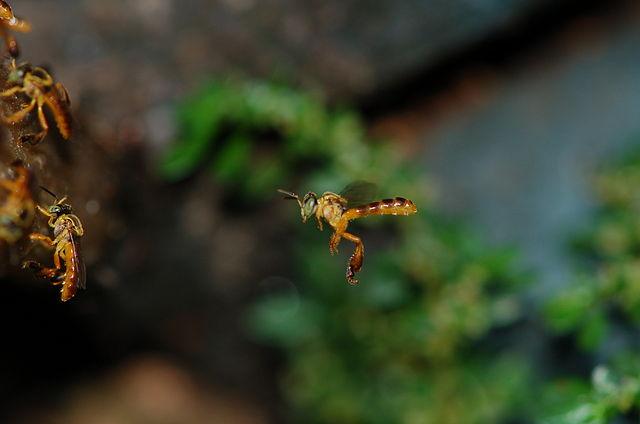 Tetragonisca angustula. Bild von User Bibafu via Wikipedia.