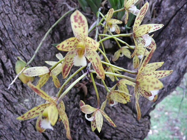 Cymbidium Canaliculatum (Banana Orchid or Queensland Black Orchid) in flower near Manilla, New South Wales, Australia.