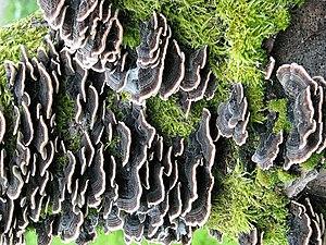 English: Bracket fungi on dead tree
